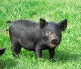 American Guinea Hog Piglet