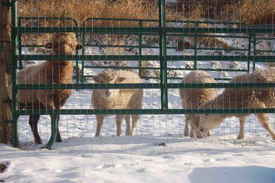Sheepsnow