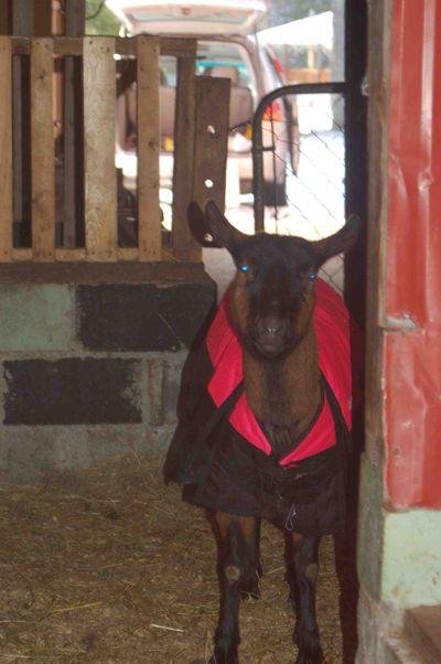Goatcoat1