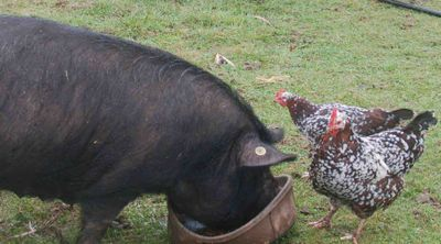 Pig&spottedsussex