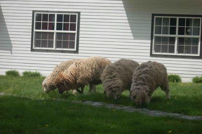 Sheepmower