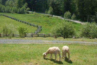 Sheepgrazingsunny