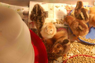 Poults1b