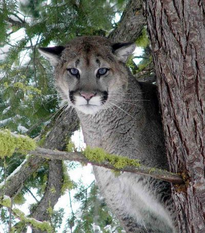 Cougartree