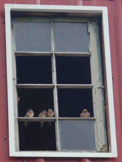 Barnswallowsbarn