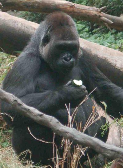 Gorillaapple