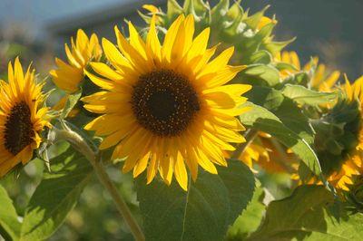 Sunflowersunlight