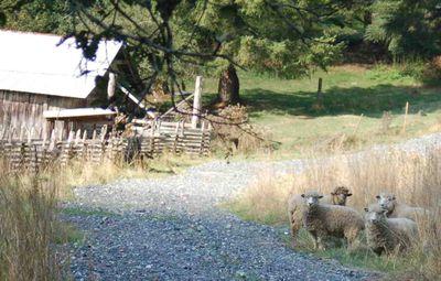 Sheeproad