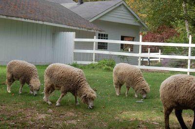 Sheephang