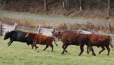 Cattlefrolick