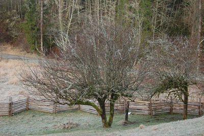 Appletreesuncut1