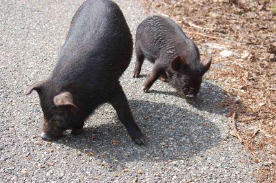 Pigseatonroad