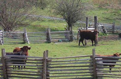 Cattlewatch