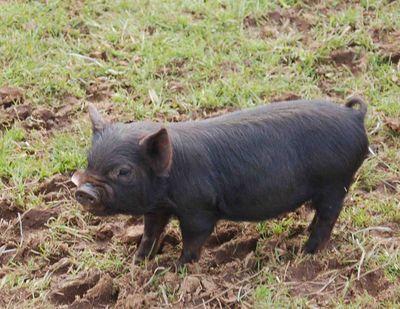 Piggygirl