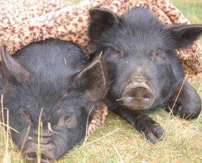 Pigsblanket