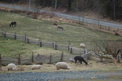 Sheepllamahorsedonkey